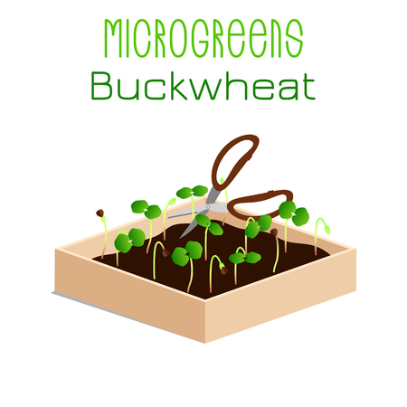 Microgreens Buckwheat. Grow microgreen in a box with soil. Cutting the harvest with scissors. Vitamin supplement, vegan food Foto de archivo - 124726240