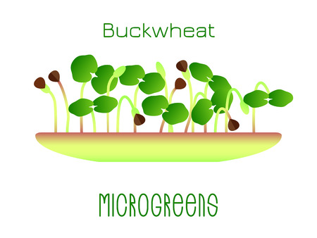 Microgreens Buckwheat. Sprouts in a bowl. Sprouting seeds of a plant. Vitamin supplement, vegan food Foto de archivo - 124696595