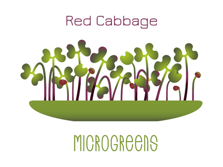 Microgreens Red Cabbage. Sprouts in a bowl. Sprouting seeds of a plant. Vitamin supplement, vegan food Foto de archivo - 124510717