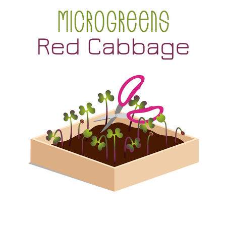 Microgreens Red Cabbage. Grow microgreen in a box with soil. Cutting the harvest with scissors. Vitamin supplement, vegan food