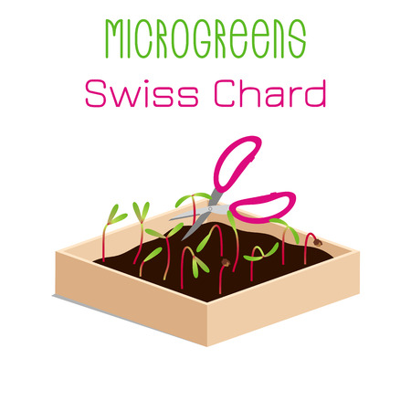 Microgreens Swiss Chard. Grow microgreen in a box with soil. Cutting the harvest with scissors. Vitamin supplement, vegan food