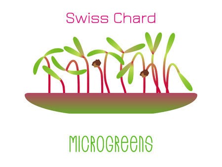 Microgreens Swiss Chard. Sprouts in a bowl. Sprouting seeds of a plant. Vitamin supplement, vegan food