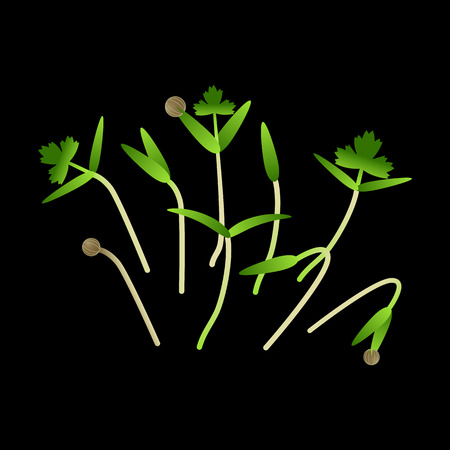 Microgreens Cilantro. Bunch of plants. Vitamin supplement, vegan food. Black background Иллюстрация