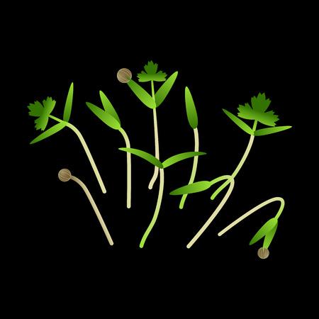 Microgreens Koriander. Haufen Pflanzen. Vitaminergänzung, veganes Essen. Schwarzer Hintergrund
