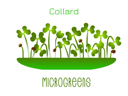 Microgreens Collard. Sprouts in a bowl. Sprouting seeds of a plant. Vitamin supplement, vegan food Stok Fotoğraf - 124084093