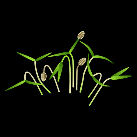Microgreens Dill. Bunch of plants. Vitamin supplement, vegan food. Black background