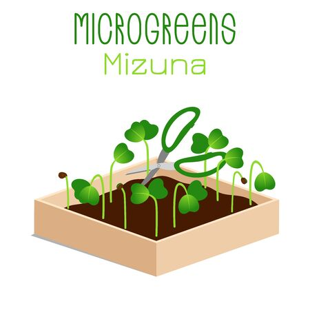 Microgreens Mizuna. Sprouts in a bowl. Sprouting seeds of a plant. Vitamin supplement, vegan food.