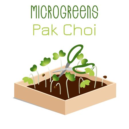 Microgreens Pak Choi. Sprouts in a bowl. Sprouting seeds of a plant. Vitamin supplement, vegan food.