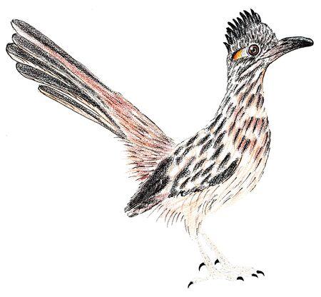 Road Runner. Greater roadrunner. Geococcyx californianus. Bird illustration Stock Photo
