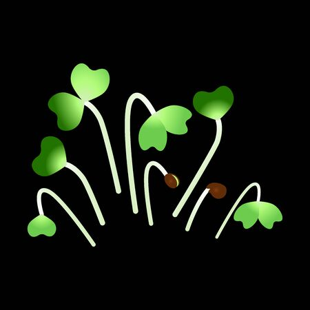 Microgreens Daikon Radish. Bunch of plants. Black background  イラスト・ベクター素材
