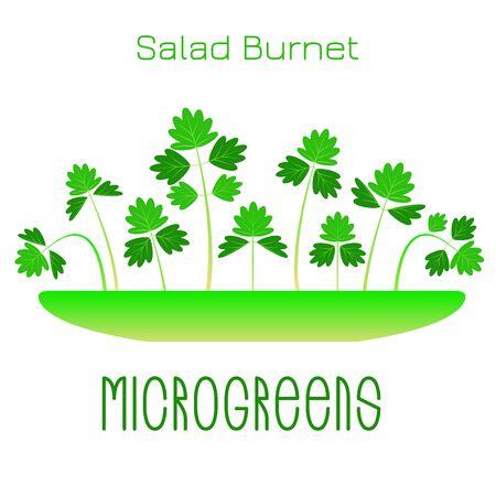 Microgreens Salade Burnet, Sanguisorba minor. Pousses dans un bol. Germination des graines d'une plante. Supplément vitaminique, nourriture végétalienne