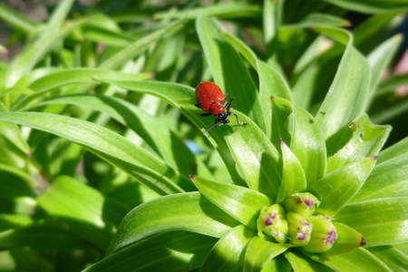 Scarlet lily beetle, Lilioceris lilii. Red beetle eats, damages lily leaves. Macro photography on a summer sunny day