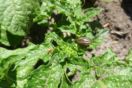 Colorado potato beetle, ten-striped spearman. Striped beetle eats, damages potato leaves. Macro photography on a summer sunny day Stock fotó