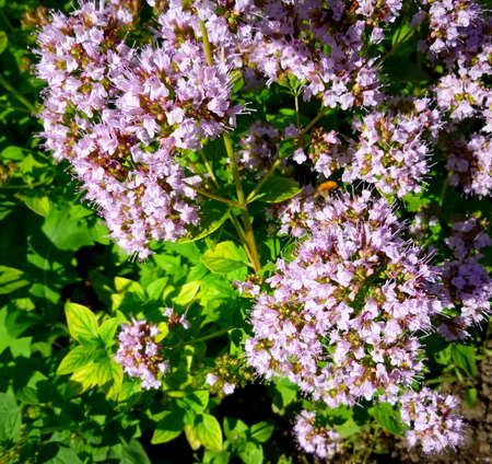 Origanum vulgare flowers. Culinary herb, seasoning, aroma. Medicinal plant from garden in Siberia Russia. Bumblebee sitting on flowers.