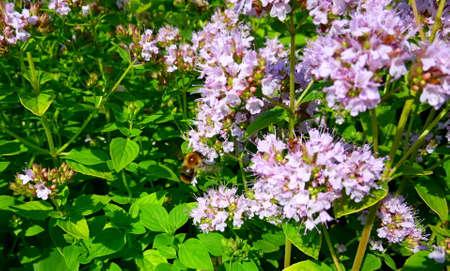 Tanacetum parthenium, Feverfew, Bachelors Buttons, Featherfew, Featherfoil, Flirtwort plant and flower. Traditional medicinal herb.