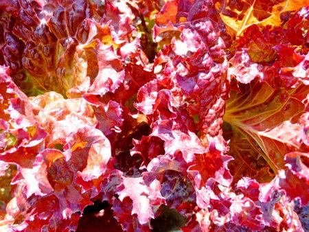 Fresh lettuce leaves, close up. Lettuce salad plant, vegetable leaves. Organic food, agriculture.
