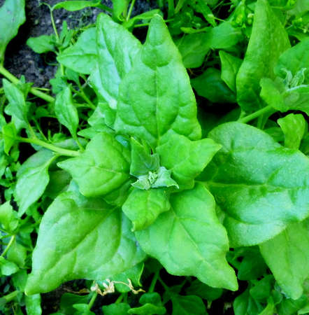 Spinach growing in the garden. Fresh organic leaves