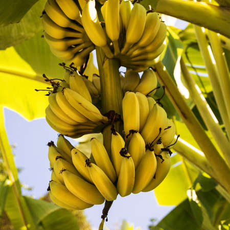 banana tree: A bunch of bananas on the tree  Square composition  Stock Photo
