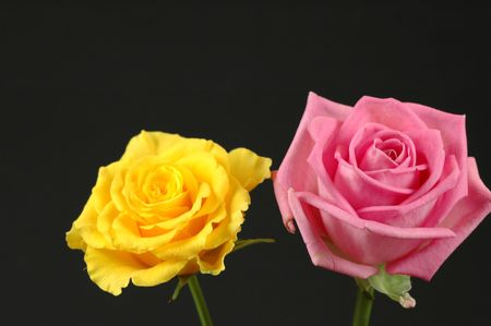 yellow and pink rose on black background photo