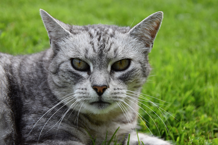 gray cat: Gray tabby cat intently watching