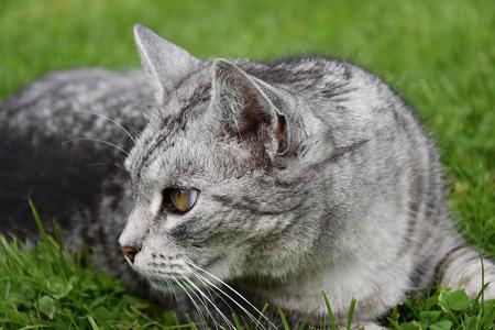 gray tabby: Gray tabby cat looking in the grass Stock Photo