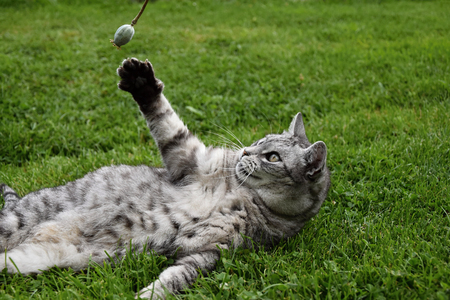 gray tabby: Gray tabby cat lying in the grass and lifted a paw and catches poppy