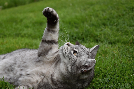gray tabby: Gray tabby cat lying in the grass and lifted a paw