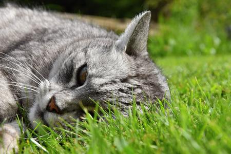 gray tabby: Gray tabby cat lying in the grass