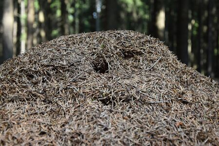 anthill: Entrance into a large anthill, the background trees Stock Photo