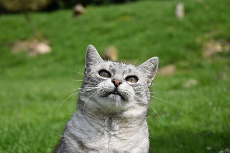 gray cat: Tabby gray cat looking upwards