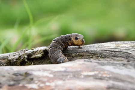 deilephila: Deilephila elpenor - big caterpillar crawling on wood Stock Photo