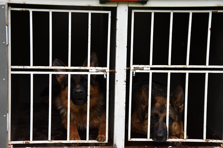 locked up in a cage: German Shepherd Dog. Two dogs are locked up in a cage on a trailer.