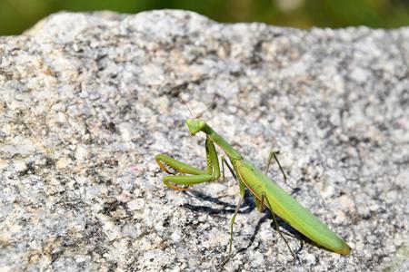 Green mantis sitting on a stone. Mantis religiosa.