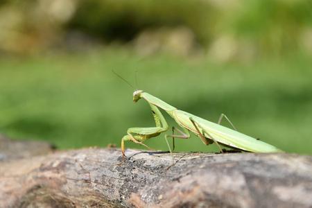 religiosa: Green mantis sitting on wood. Mantis religiosa.