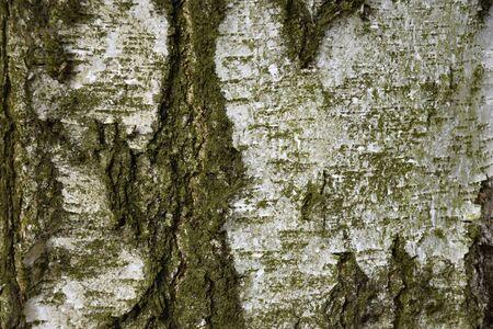 tinge: Texture of birch tree. Green tinge. Background.  Birch.