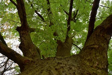 Guardando la corona di un grande albero di frassino. Cenere.