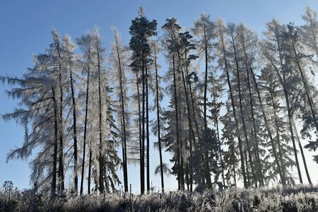 Frostbitten row of trees larch trees, blue sky. Forest. Stock Photo