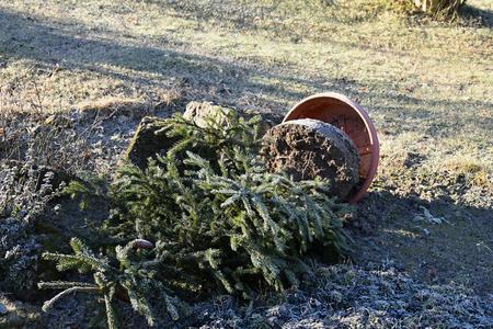 overturned overturn: Overturned flowerpot is tree after big wind. Flowerpot.