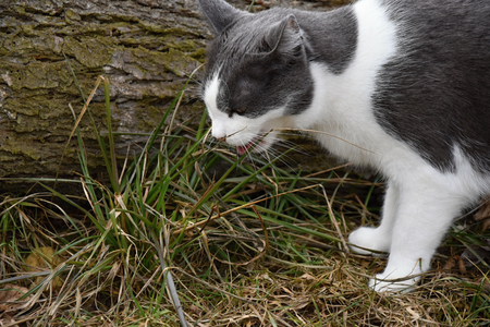 Black and white cat nibbles grass. Cat. Stock Photo