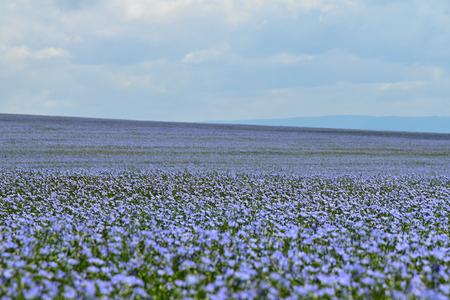Field of flax, Linum usitatissimum L.