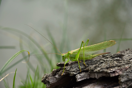 Tettigonia viridissima. Green grasshopper on the old tree bark.