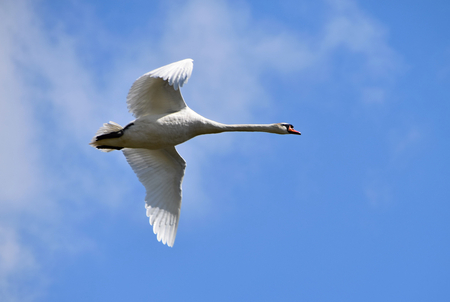 Flying swan circling over the lake, background sky with clouds