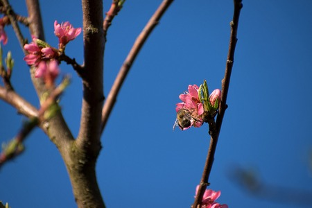 Bumblebee pollinates peach tree flowers. Peach blossoms in spring. Blue sky