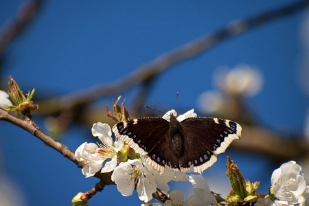 Butterfly Nymphalis antiopa on cherry blossom. White cherry blossoms in spring. Blue sky Фото со стока