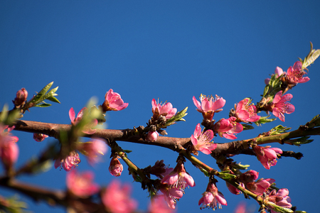 Peach blossoms in spring. Blue sky Фото со стока