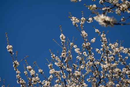 White cherry blossoms in spring. Blue sky Фото со стока