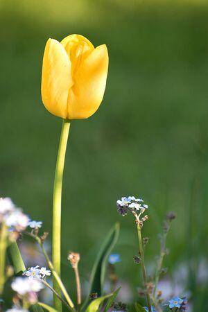 Yellow tulip in the garden. Blurred background photo