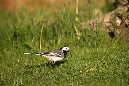 Motacilla on the grass of the garden