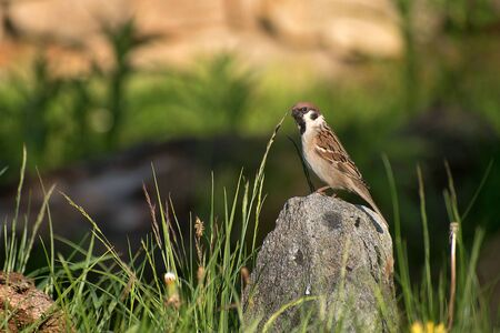 Passer montanus. Sparrow sitting on a stone at sunset. Blurred background photo