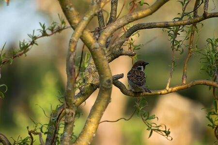 Passer montanus. Sparrow sitting on a willow branch. Blurred background photo Фото со стока